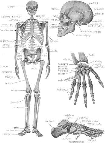 anatomia y fisiologia circulacion sangre regulacion nerviosa presion ...
